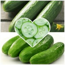 Mini Cucumber seeds! Great for allotments/greenhouses/gardens. Very tasty! Easy!