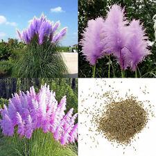 500pcs Seltene Violett Pampa Rasen Samen Blumensamen Pflanze Ziergarten Dekor