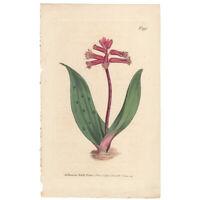 Curtis Botanical Magazine antique 1807 hand-colored engraving Pl 993 Lachenalia