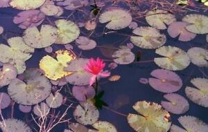 100 Nymphaea Rubra SACRED WATERLILY SEEDS Pink Lotus