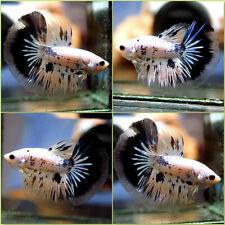 New listing Live Betta Fish Fancy Blue Black Dalmatian Dragon Halfmoon Male #C163