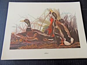John James Audubon, Mallard Vintage Print commentary by Roger Tory Peterson EC