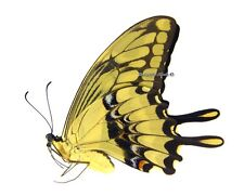 Unmounted Butterfly/Papilionidae - Papilio thoas nealces, FEMALE, Colombia