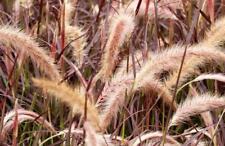 Pack x6  Perennial Grass Pennisetum Setaceum 'Rubrum' Large Plug Plants