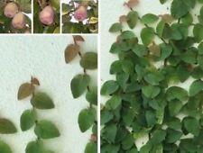 Kletternde Feige Büropflanzen blühende Pflanzen für drinnen vertikaler Garten