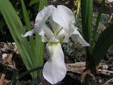 Bearded Iris, White, TWO rhizomes