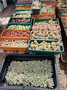 SUCCULENTS 20 Different Types cuttings 20+, No repeat! No Jade!