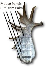 Large Moose Panel Antler - USA Shed Antler Chew - Single Antler