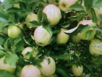 8 Fresh Yellow Delicious Apple Tree Cuttings, Live trees, Great hobby!