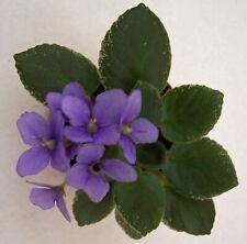 African violet Cajun's Le Bon Ton Roule live plant in pot