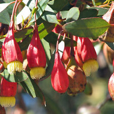 EUCALYPTUS stoatei Scarlet Pear Gum Seeds (E 32)