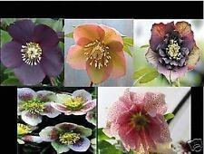 HELLEBORUS orientalis SUPERIOR ibridi forme uniche fioritura 30 semi semina ora