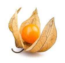 30 graines non traitées de Physalis peruviana edulis - coqueret du Pérou - Fruit