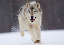 POSTER A4 PLASTIFIE-LAMINATED(1 FREE/1 GRATUIT)* ANIMAUX SAUVAGE.LE LOUP/WOLF