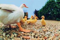 Duck with Ducklings Photo Art Print Poster 24x36 inch