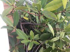 *1 Live Mangrove Aquarium Fish plant Mangrove branching 3 - 4 feet