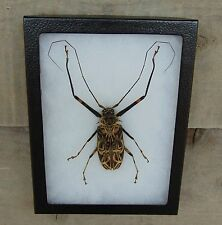 E714) Real HARLEQUIN LONGHORNED BEETLE Acrocinus longimanus Framed Insect in US