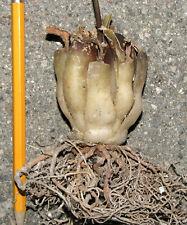 Drimia cremnophila Bulb of gummy worms