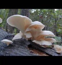 White Oyster Mushrooms Seeds/Spawn  Pleurotus Mycelium.