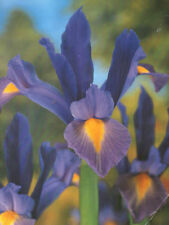 Spring Deciduous H4 (-10 to -5 °C) Plants, Seeds & Bulbs