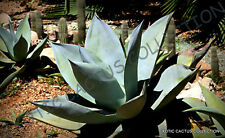 RARE AGAVE GUIENGOLA @ Creme Brulee exotic succulent aloe plant seed - 15 SEEDS