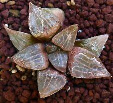 "Haworthia Correcta ""Red-Pink Windows"" CLONE HW7 EX Specks no Truncata"
