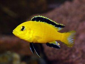Yellow Lab Cichlid Labidochromis Live Fish Aquarium Tanks Aquatics Tropical 4cm