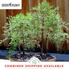 Giant Sequoia - Sequoiadendron giganteum (50 Bonsai Seeds)