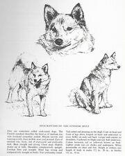 Finnish Spitz Sketch - 1963 Vintage Dog Print - Matted