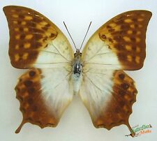 Charaxes varanes - The pearl emperor real butterfly FEMALE Set x1  Entomology c