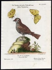 Antique Print-WHITE THROATED SPARROW-BUTTERFLY-LXXXXIV-Seligmann-Edwards-1768
