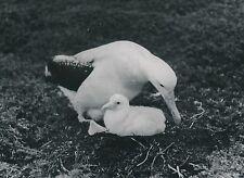 ÎLES KERGUELEN c. 1940 -  Albatros et son poussin - P 1320
