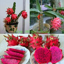 """SUPER DWARF! Pitaya Pitahaya FLOWERS AT 3""""!! red flesh Dragon Fruit SEEDS."""