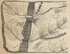 A4478 Astereophyllum equisetum, vegetale fossile - Incisione Antica del 1887