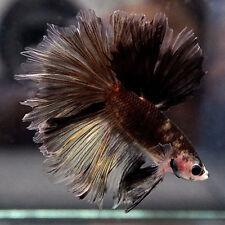 Live Betta Fish Male Fancy INK BLACK BANANA Halfmoon HM