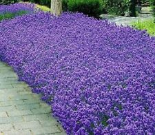 LAVENDER MUNSTEAD FLOWER SEEDS - BULK *****