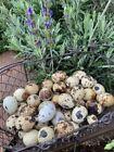 NPIP Fertile Jumbo coturnix quail eggs