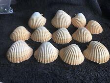 12 Pecten Vogdesi Deep Half's 60 To 80mm Top Quality shells Item P 68