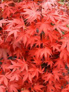 Acer palmatum Osakazuki, 80-100cm, Japanahorn mit knallroter Herbstfärbung