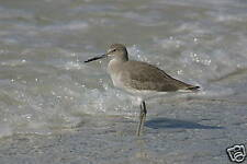 "FABULOUS PHOTOGRAPH OF A WILLET SANDPIPER MATTED 14""X11"