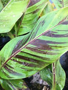 Musa sikkimensis 'Red Tiger' - Himalayan Banana Plant PLUG PLANT