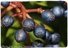Viburnum tinus ssp. tinus 'Laurestine' [Ex. Spain] 40 SEEDS