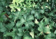 """Curly Locks"" Trailing Hedera Ivy Starter Plant"