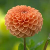 150 MIXED Daisy SEEDS Beautiful Garden Perennial Flowers Dec N1G5 C3T4