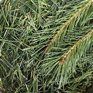Kiefernnadeln frisch geerntet 200g Pinus sylvestris Suramin f. Tee Aufguss Sauna