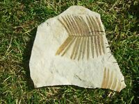 - Fossili - pianta ZAMITES FENEONIS (1c) francia