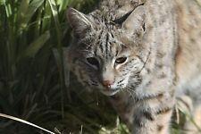 Bobcat - Vol. 2 Taxidermy Reference Photo Cd