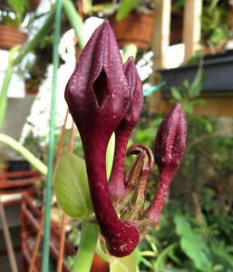 Ceropegia rupicola,Caudex,Euphorbia,Bulb