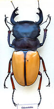 LUCANIDAE - Odontolabis femoralis, 81+ MM, BEAUTIFUL GIANT MALE - A1