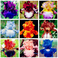 50 PCS Seeds Iris Bonsai Perennial Flowers Home Garden Plants Orchid Rare 2019 N